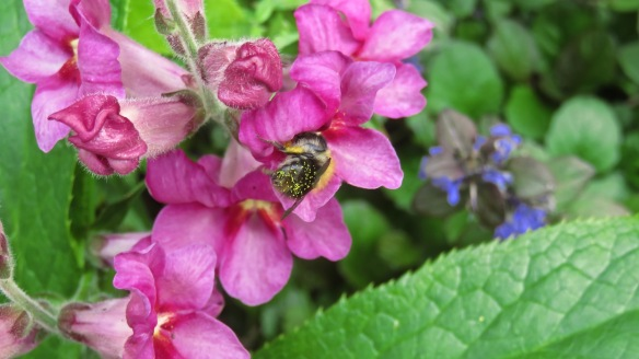 Bee in antirrhinum 1