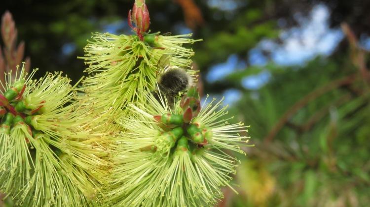 Bee on Bottle Brush plant