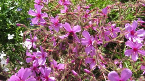 Bee on geranium palmatums