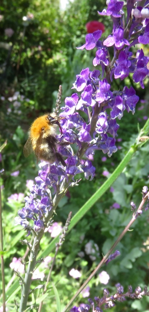 Bee on linaria