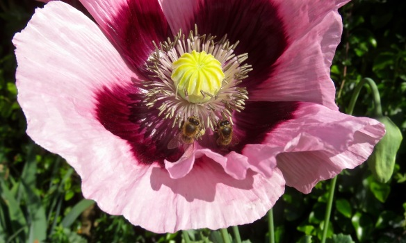 Bees on poppy 1