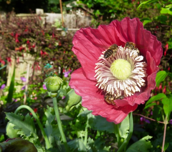 Bees on poppy 2