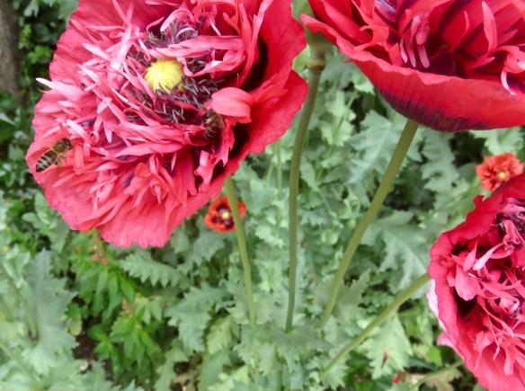 Bees on poppy