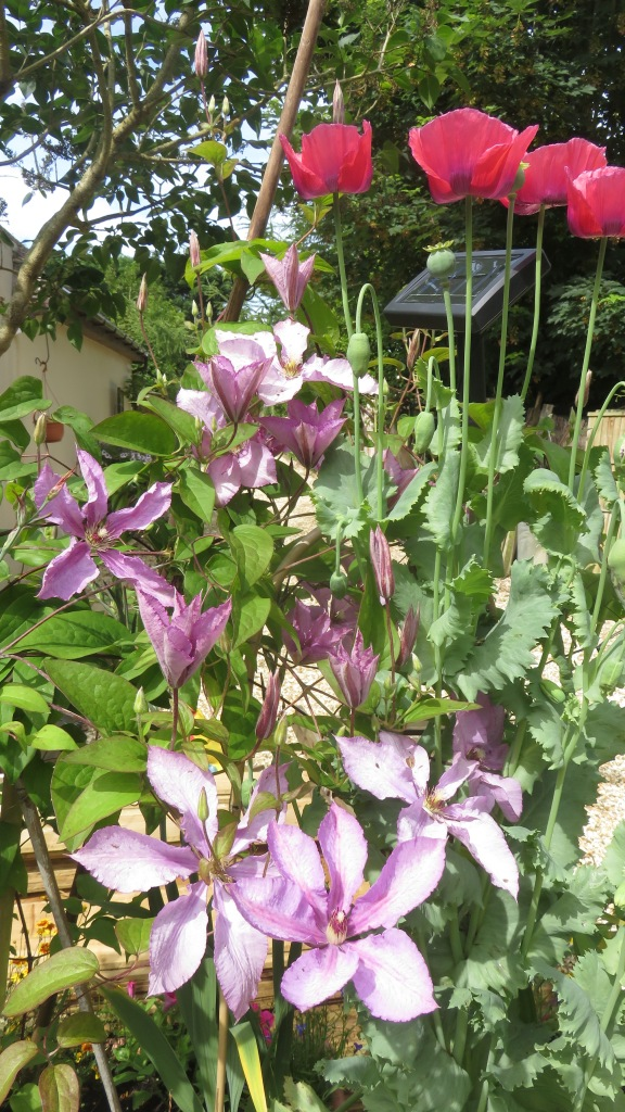 Clematis and poppies
