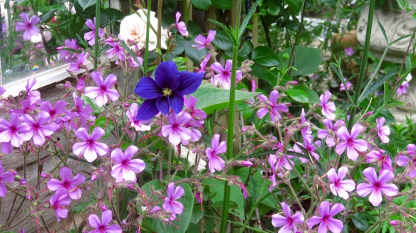 Clematis Durandii and geranium palmatums; and bee