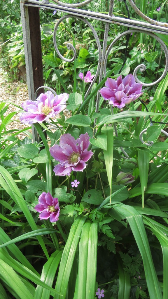 Clematis recovered