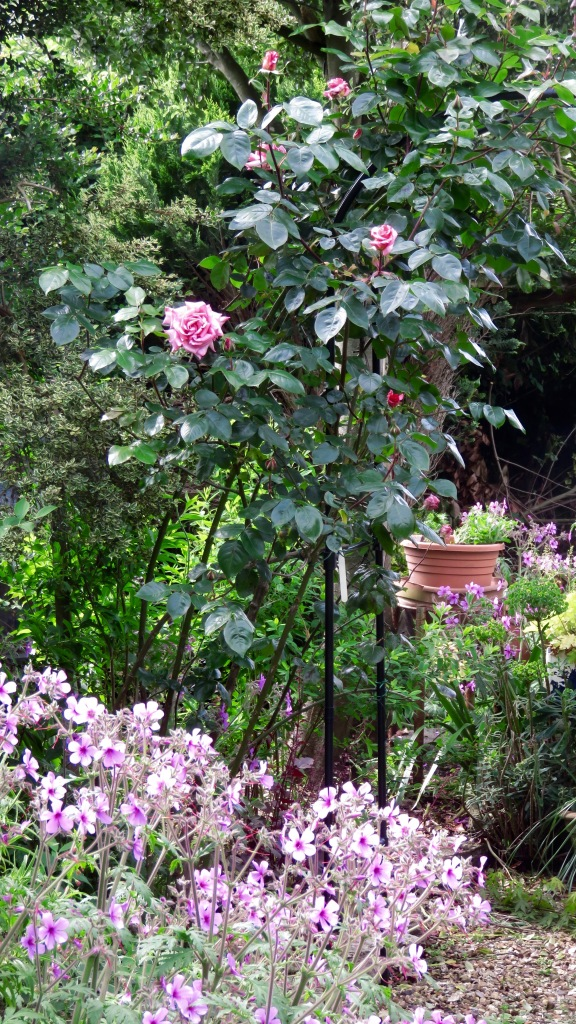 geranium palmatum, rose Compassion