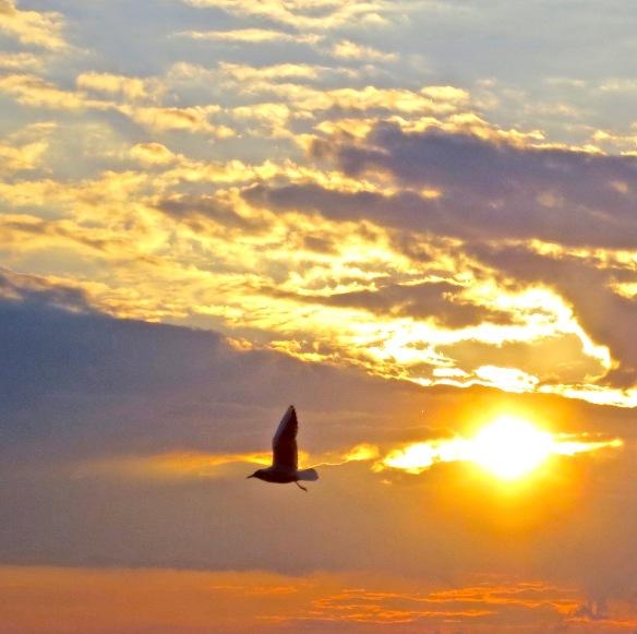 Gull at sunset