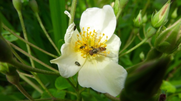 Hoverfly and beetles on rose Wedding Day