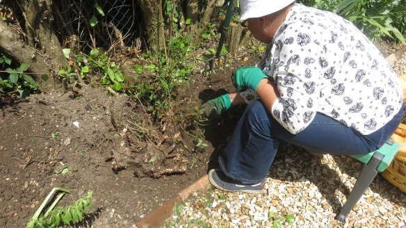 Jackie digging out fuchsia roots