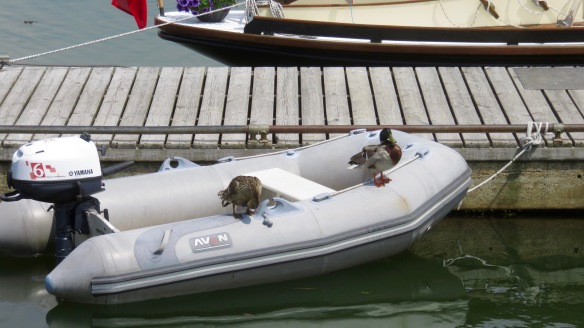 Mallards in dinghy