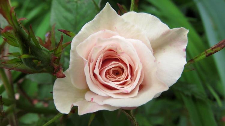Rose (patio)
