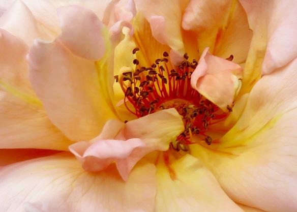 Rose peach crop