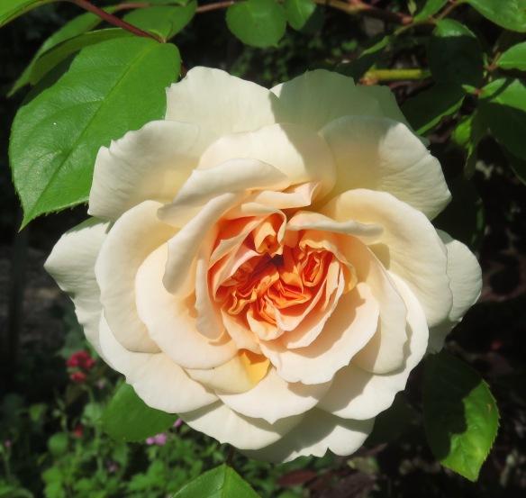 Rose Pink Abundance