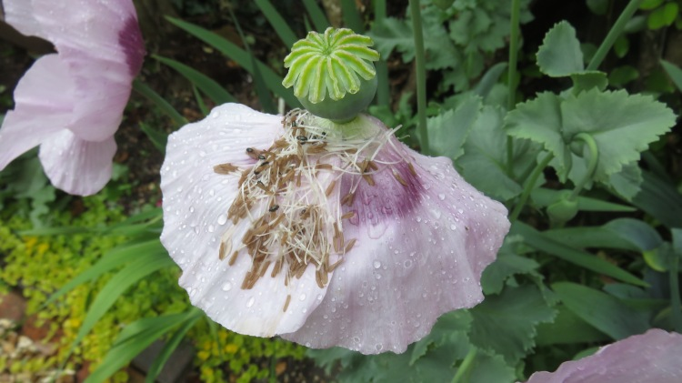 Beetles and raindrops on poppy