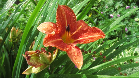 Raindrops on Day Lily