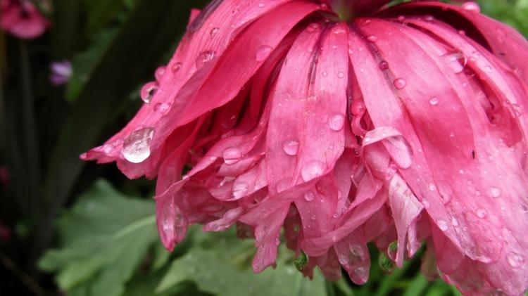 Raindrops on poppy