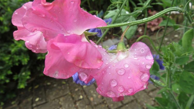 Raindrops on sweet pea