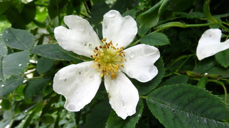 Raindrops on white climbing rose