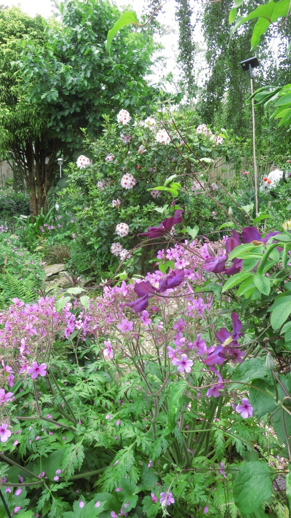 Rhododendron, geranium palmatums, and clematis Star of India