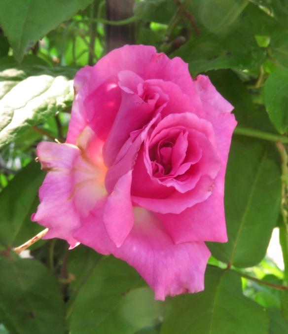 Rose deep pink climber