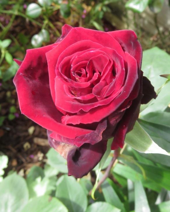 Rose Deep Secret