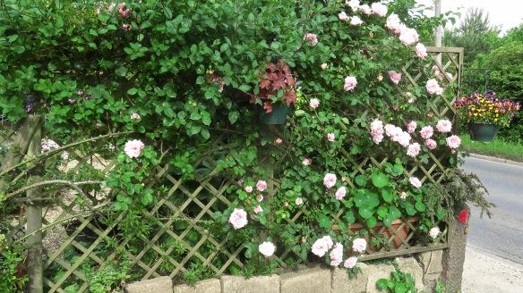 Roses on trellis