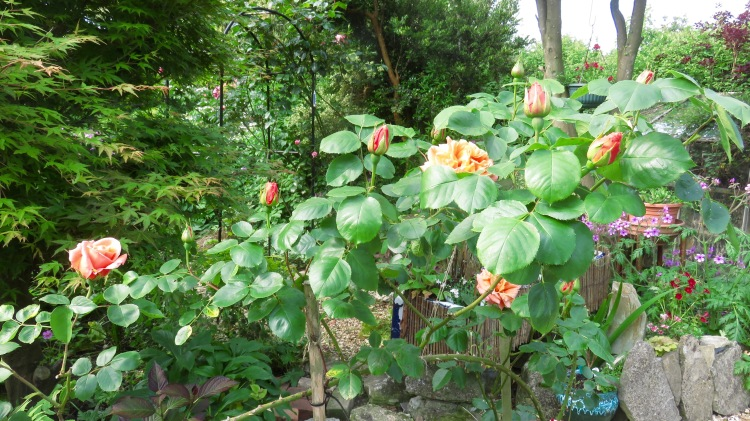 Rose peach bush