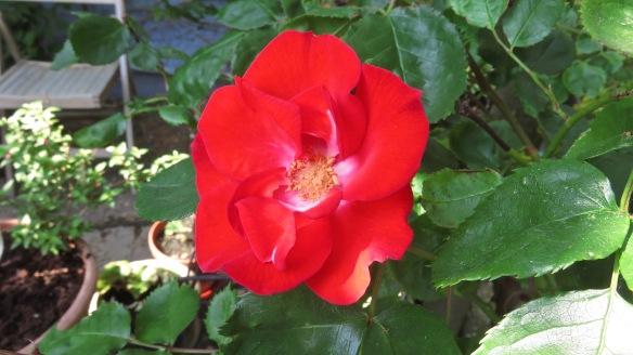 rose scarlet climber