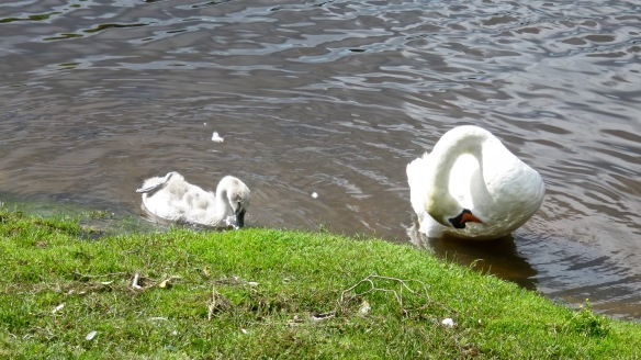 Swan and cygnet