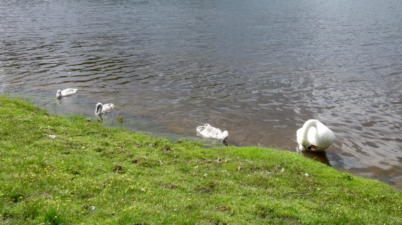 Swan and cygnets 1
