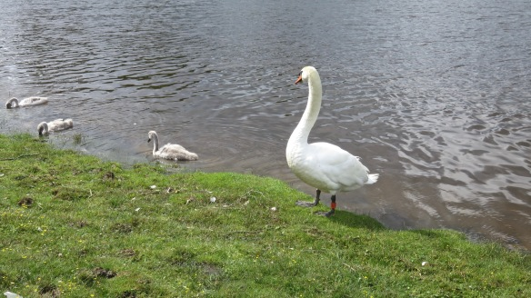 Swan and cygnets 2