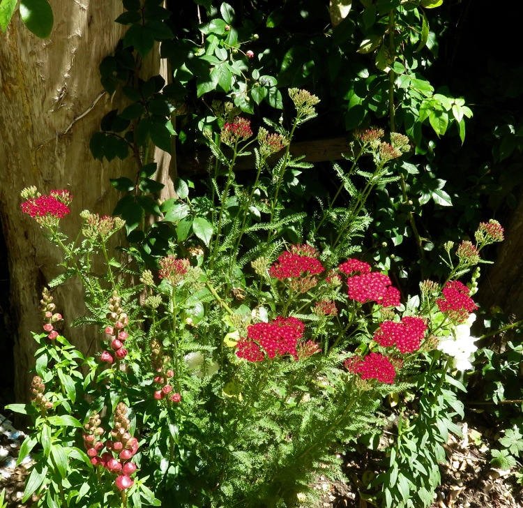 Achillea and snapdragons