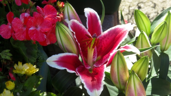 Asiatic lilies and petunias