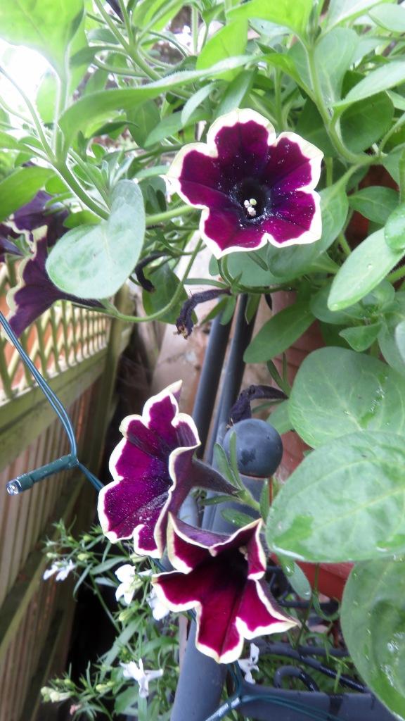 Petunias 1