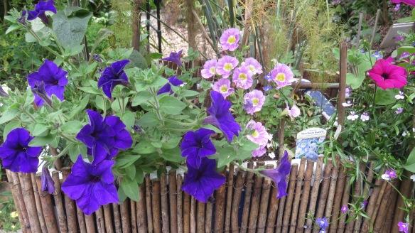 Petunias and lobelia 1