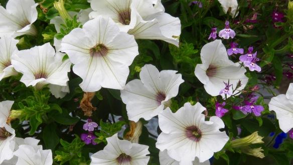 Petunias and lobelia 2