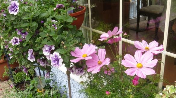 Cosmos and petunias