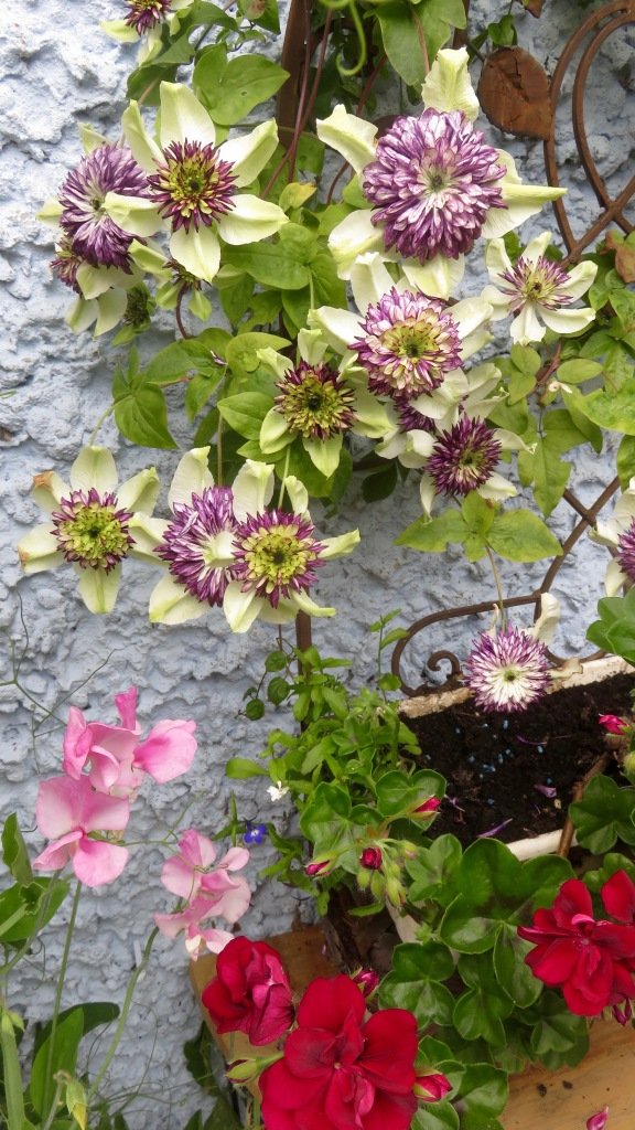 Clematis, sweet peas and geraniums