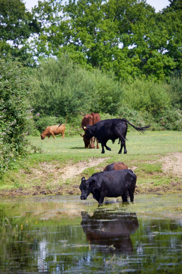 Cattle at pool