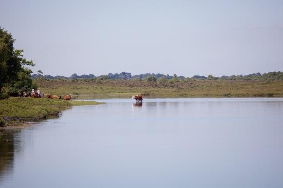 Cattle on Hatchet Pond