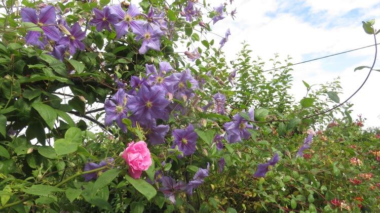 Clematis Mrs N. Thompson, pink rose, honeysuckle