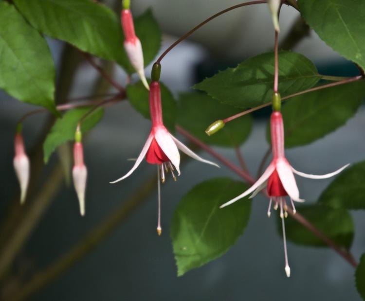 Fuchsia Chequerboard