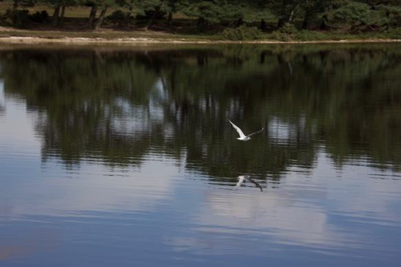 Gull and reflection