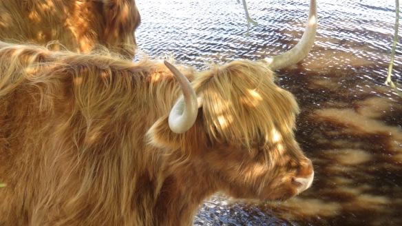 Highland cattle 3