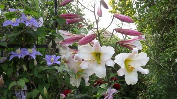 Clematises, lilies, dahlias, fuchsia, solanum