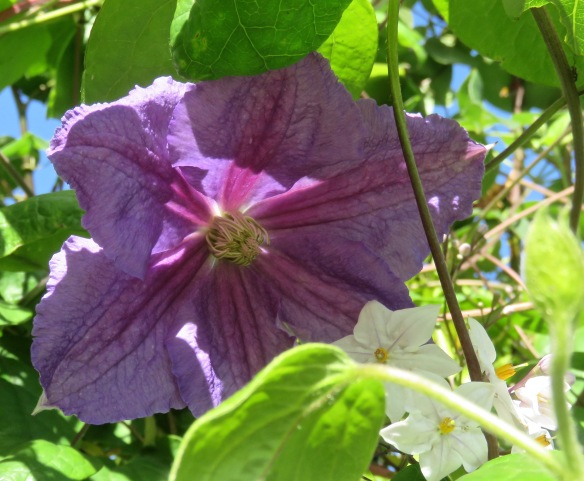 Clematis Mrs N. Thompson and solanum