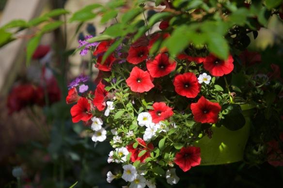 Petunias in hanging basket