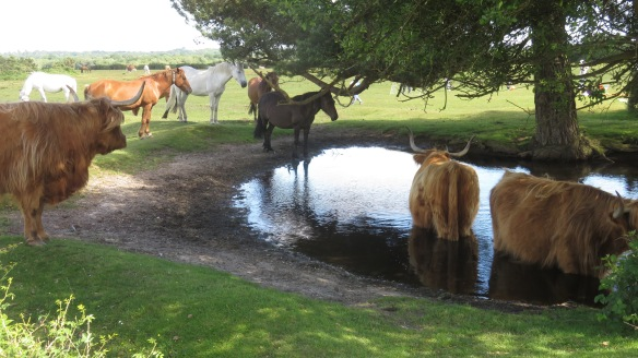 Ponies and Highland cattle