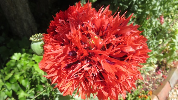 Poppy 1